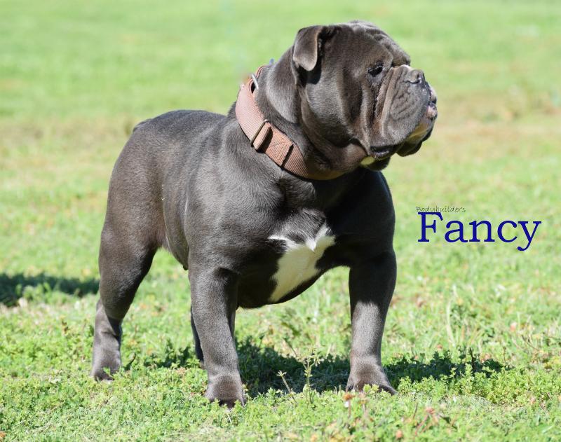 Bodybuilder Bulldogs' Fancy