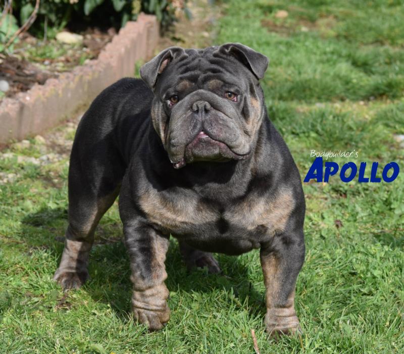 Bodybuilder Bulldogs' Apollo
