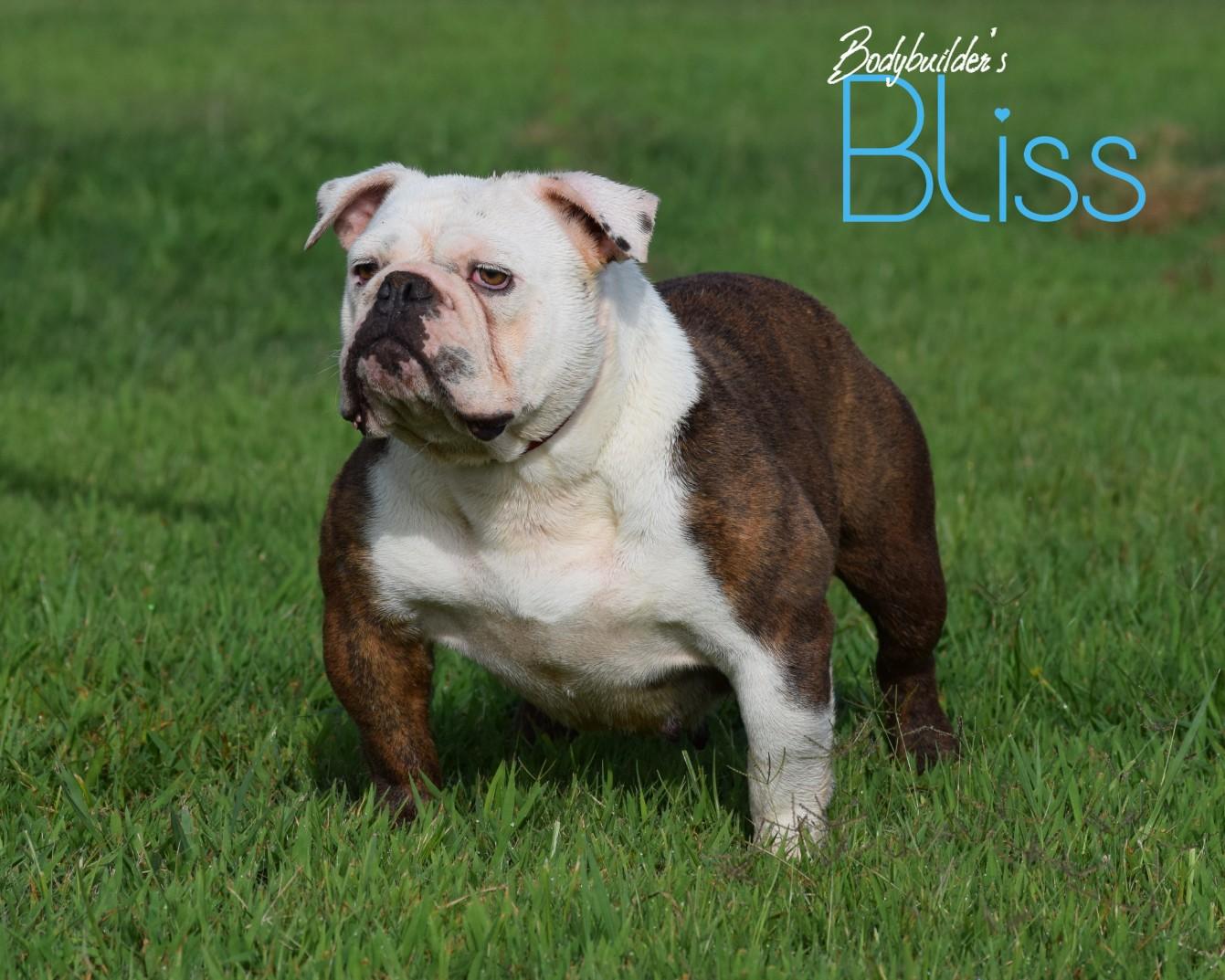 Bodybuilder Bulldog's Bliss